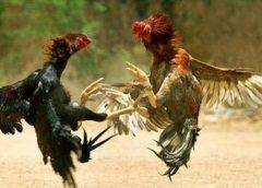 <span>Tin cá cược nhà cái W88: Bắt quả tang sới gà trái phép tại Tiền Giang, tạm giam 29 đối tượng</span>